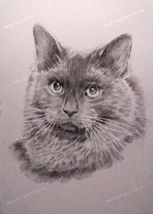 портрет карандашом — кот