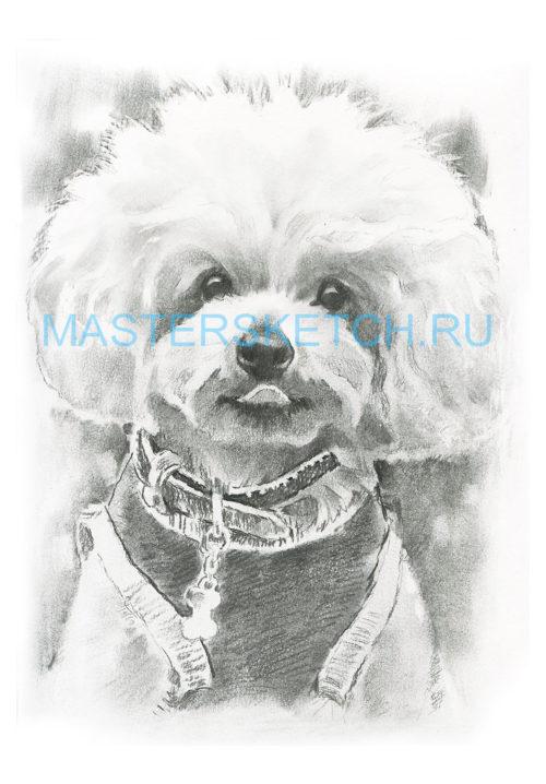 Портрет собаки по фотографии — заказать — пудель