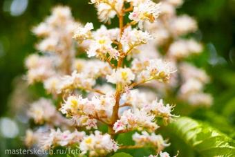 цветёт-каштан