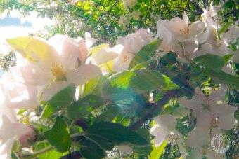яблоня цветёт. Фотопрогулка в мае 2020